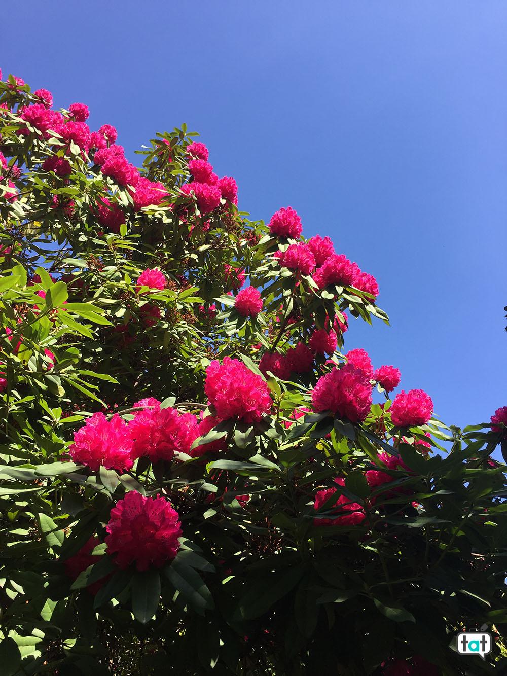 villa carlotta giardino rododendri