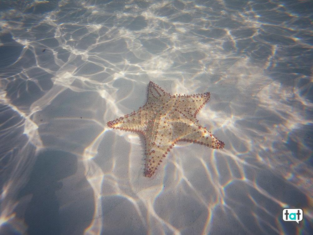 Cuba stella marina