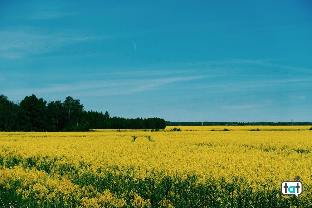campi di fiori gialli Vilnius