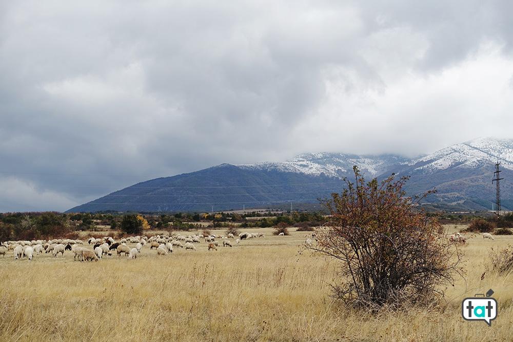 Pecore Bulgaria