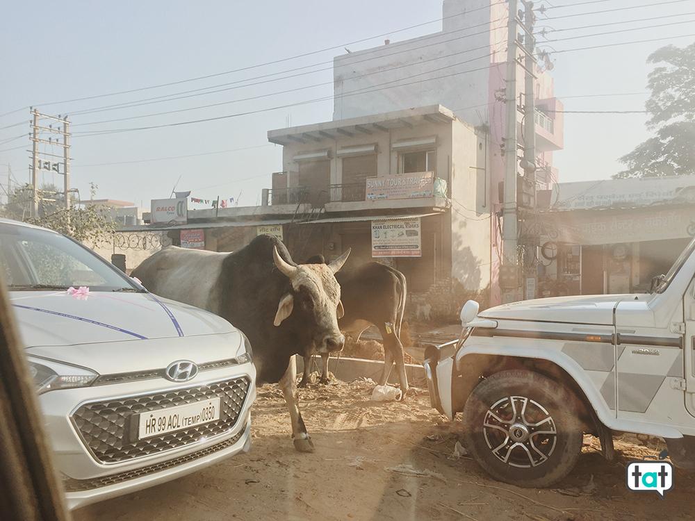 Mucche a Nuova Delhi