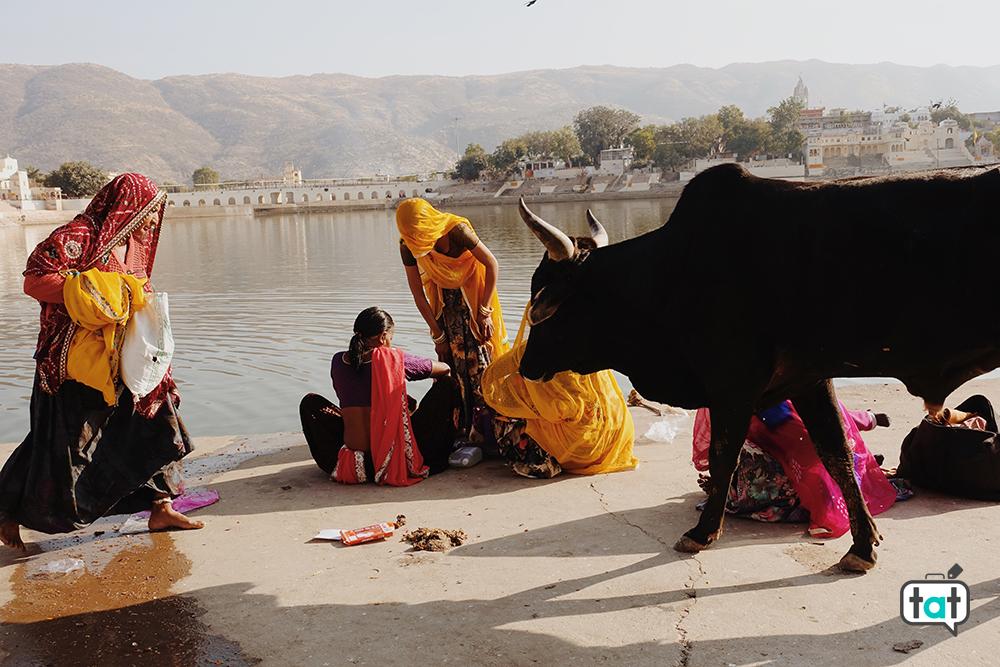 Mucche a Pushkar